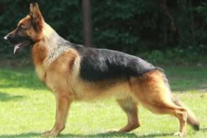 Pastor Alemán, razas de perros medianos
