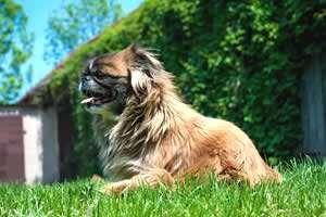 Pequinés, razas de perros pequeños