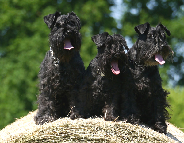 perros raza schnauzer negro, perros schnauzer