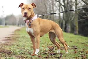 Pibtull, razas de perros medianos