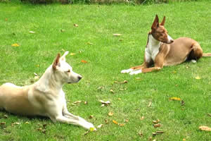 Podenco Ibicenco, raza de perros medianos