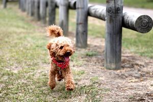 Razas de Perros Toy, Mini o Enanos