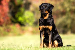 Rottweiler, razas de perros grandes