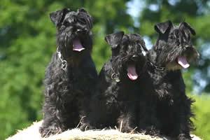 Schnauzer, razas de perros medianos