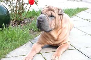 Shar Pei, razas de perros medianos