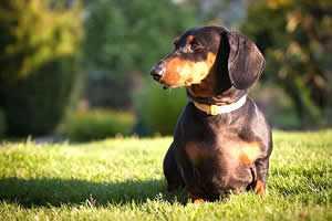 Teckel o Perro Salchicha, razas de perros pequeños