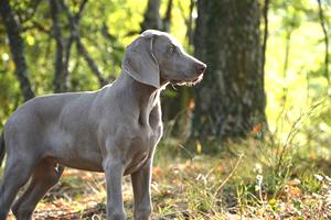 Weimaraner, razas de perros grandes