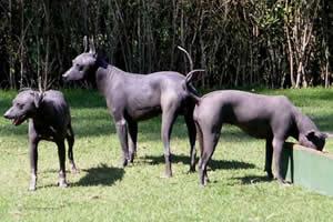 Xoloitzcuintle, razas de perros medianos