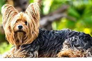 Yorkshire, razas de perros pequeños