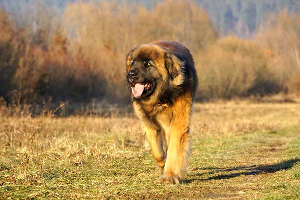 leonberger, perros de raza gigantes, alemania