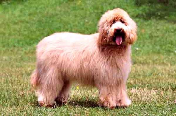 australian cobberdog, razas de perros medianos peludos
