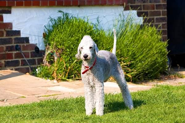 bedlington terrier, razas de perros medianos peludos