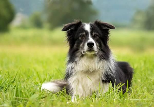 border collie,, razas de perros medianos peludos