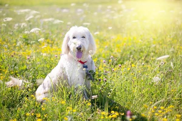 caniche,, razas de perros medianos peludos