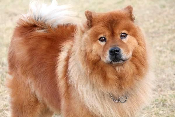 chow chow,, razas de perros medianos peludos