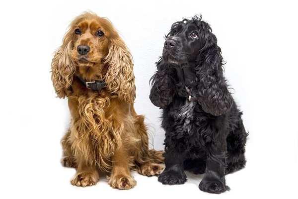 cocker spaniel,, razas de perros medianos peludos