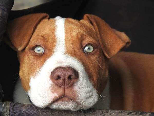como criar a un perro pibtull para que no muerda ni sea agresivo