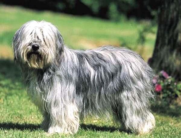 pastor catalán,, razas de perros medianos peludos