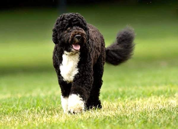 perro de agua portugés, razas de perros medianos peludos