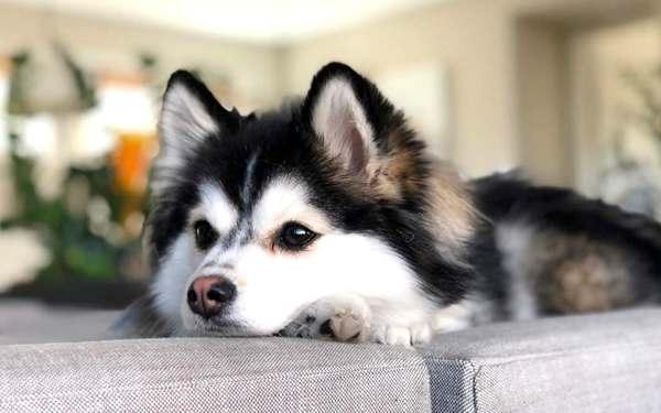 pomsky, razas de perros medianos peludos