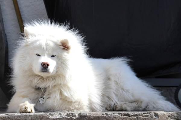 samoyedo,, razas de perros medianos peludos