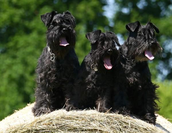 schnauzer,, razas de perros medianos peludos