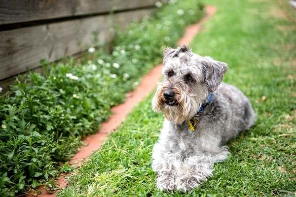 Schnoodle, razas de perros medianos peludos