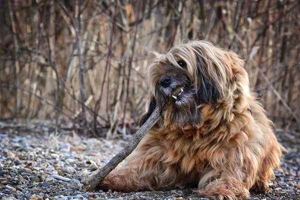 terrier tibetano, razas de perros medianos peludos