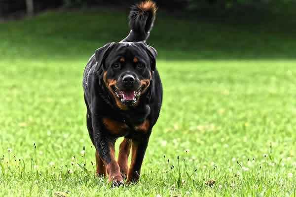 cuales son los perros peligrosos en colombia, listado de perros peligrosos