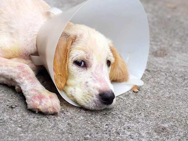 imagen de perro con sarna, conocer los síntomas, curar y tratamientos