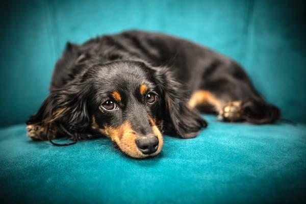 que pueden comer los perros diabeticos, perros con diabetes, dieta
