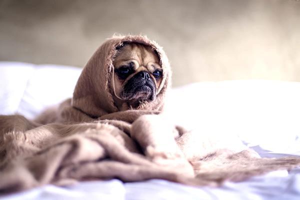 coronavirus canino, el covid 19 puede contagiar a los perros