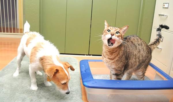 Por Qué Mi Perro Come Excrementos De Gato Y Cómo Hacer Para Evitarlo