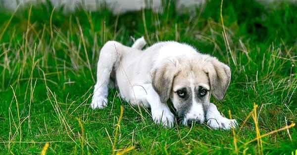 como funciona el tratamiento para desparasitar a un perro o cachorro