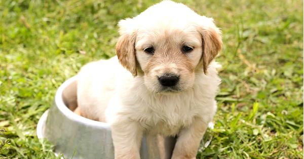 descargar manual de adiestramiento de cachorros gratis