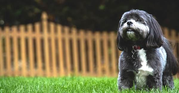 foto de perro de la raza shih tzu, tibetano poodle, raza peludo y pequeño