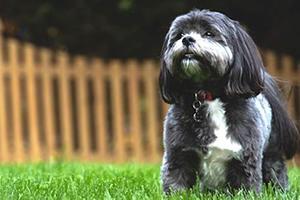 Shih Tzu, razas de perros pequeños y pelucos