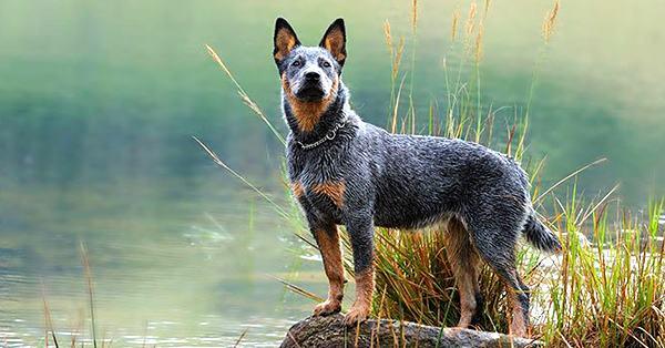 foto de perro pastor australiano o boyero australiano, en inglés australian cattle dog