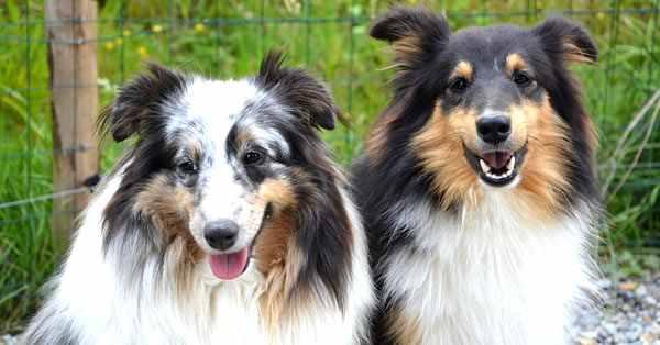 foto de perros pastor de shetland, pastos de las islas shetland, shetland shepherd