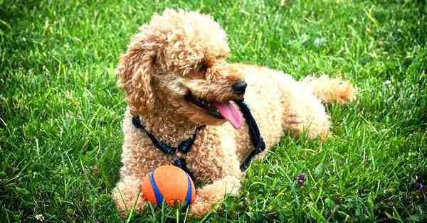 foto de un perro de la raza poodle, perro caniche