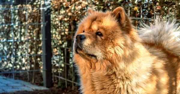 chow chow, razas de perros más bonitos y razas más lindas del mundo
