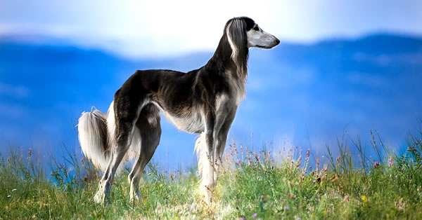 galgo, razas de perros más bonitos y razas más lindas del mundo