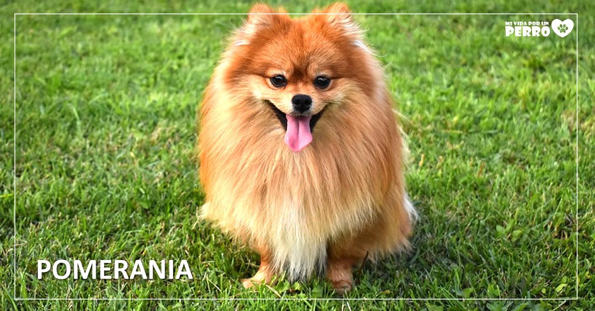 foto de raza de perros pomerania, perros toy o enanos
