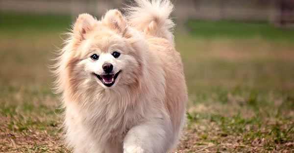 pomerania, razas de perros más bonitos y razas más lindas del mundo