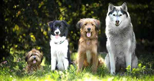 cuales son las razas de perros mas boitos del mundo