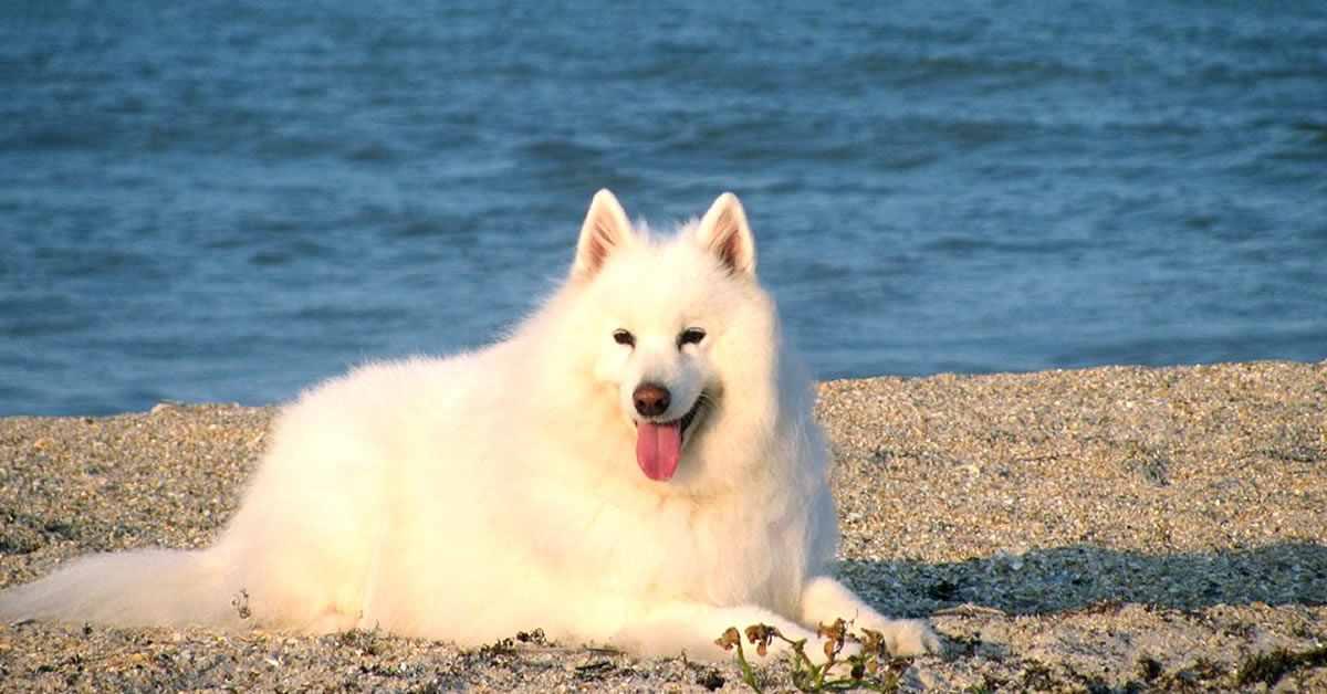 foto de perro samoyedo, raza de perros rusos blancos no negros