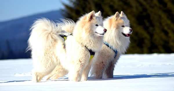 samoyedo, razas de perros más bonitos y razas más lindas del mundo