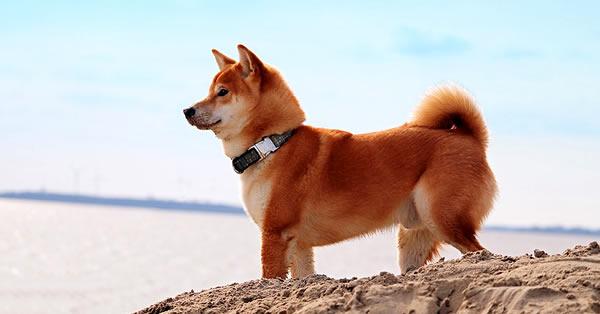 shiba inu, raza de perros pequeños japonés, raza del perro cheems
