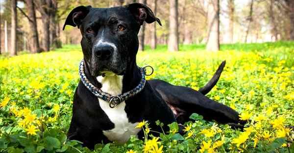 sataffordshire terrier, razas de perros más bonitos y razas más lindas del mundo