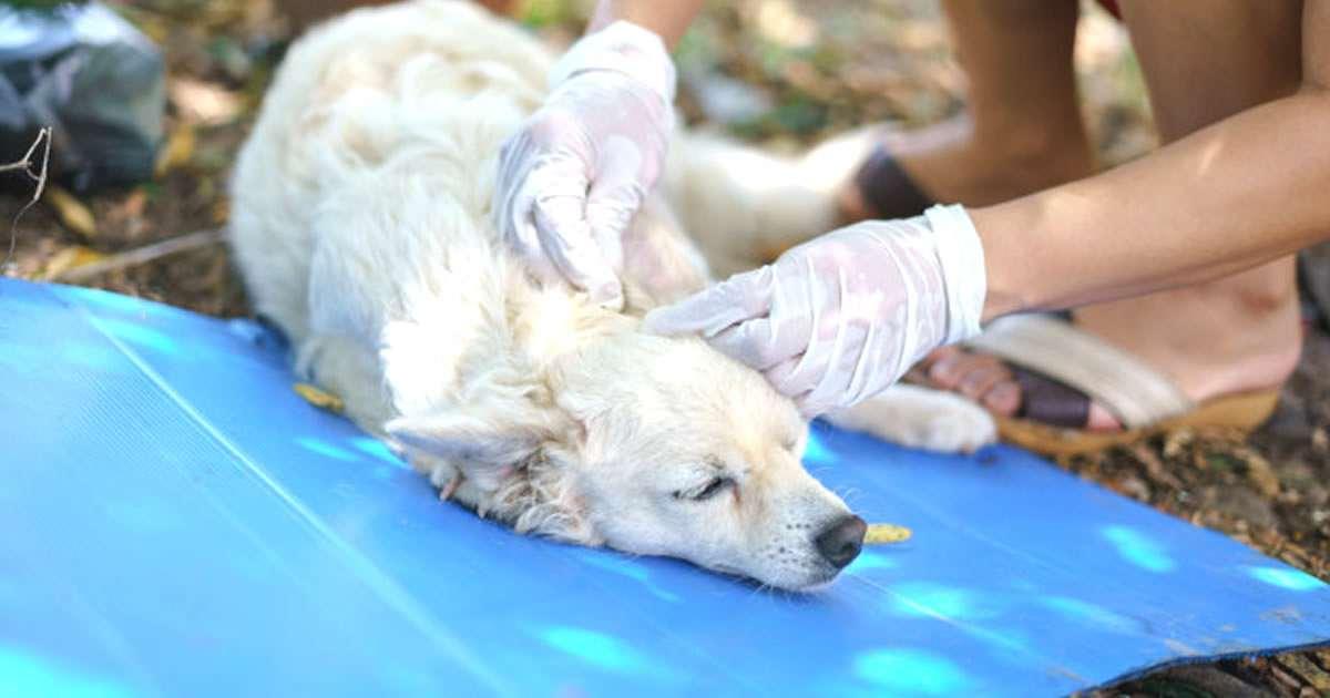 imagen de cómo eliminar garrapatas de un perro